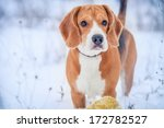 Cute Beagle Winter Outdoor...