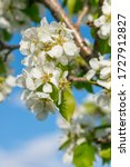 Blooming Pear Tree On A Spring...