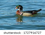 A Male Wood Duck Is Swimming I...
