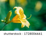 A Yellow Daylily Flower. The...