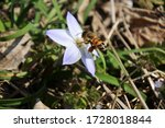 Spring Star Flower And Western...