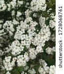 Small photo of Spiraea arguta white flowers. White spiraea flowers on a branch