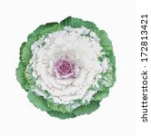 Ornamental Cabbage Flower...