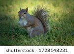 A Little Grey Squirrel In The...
