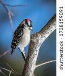 A Downy Woodpecker Looks Down...