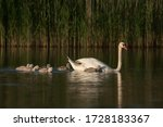 Mute Swan  Cygnus Olor  And...