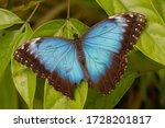Beautiful Blue Morpho Butterfly ...