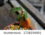 Milkweed Of Small Size In A Po...