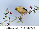 american goldfinch on weeping... | Shutterstock . vector #172832294