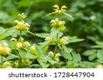 Galeobdolon Plants Yellow In...