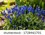 Blue Muscari Flowers Close Up....