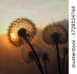 Dandelion At Orange Sunset....