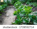 Small photo of Bushes of young potatoes, aggro photo.