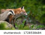 Red Fox  Vulpes Vulpes And...