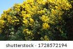Furze Or Gorse Bush In Sunlight