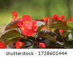 Red Begonia Flower  Begonia...