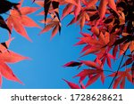 Japanese Maple In A Blue Summer ...
