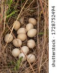 Turkey Eggs In Turkey Nest In...
