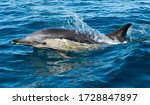 Common Dolphin Breaching During ...