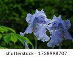 Blue Iris Germanica Or Bearded...