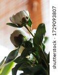macro white peony flowers... | Shutterstock . vector #1729093807