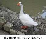 White Goose Stands On The Rock...
