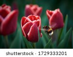 Bumblebee Flies To A Red Tulip