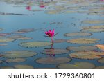 The Sea Of Red Lotus  Pink...
