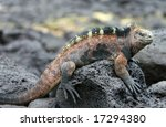 A Beautiful Marine Iguana...