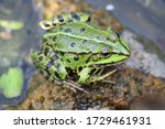 A common water frog, pelophylax esculentus, on a rock in the water.