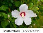 Flower White Swamp Rose Mallow  ...