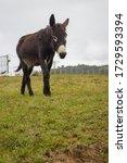 Cute Donkey Walking On Pasture. ...