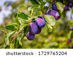 Ripe Blue Purple Plums And...