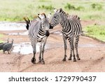 Zebra nudging each other in Nairobi National Park in Nairobi Kenya in May 2019