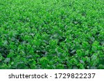Photo Of Mulberry Leaves In The ...