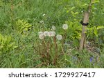 Group Of Seed Heads Of A...