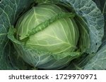 Close Up View Of White Cabbage...