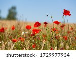 Red Poppies In The Open Air