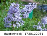 Bright Purple Beautiful Lilac...
