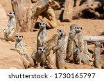 Meerkat Group Resting In Nature