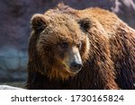 Bear Portrait In The Nature