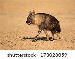 brown hyena  hyaena brunnea  ... | Shutterstock . vector #173028059