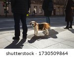 Dog On A Leash Stands At An...