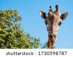 The Giraffe Looked At What Was...