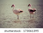flamingos on lake in andes  the ... | Shutterstock . vector #173061395