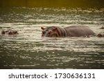 Hippopotamus In Water Looking...
