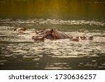 Group Of Hippopotamus In Mudd...