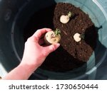 Setting Epicure Potatoes In A...