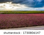 Peach Orchard In Bloom With...
