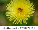 A Bee Sits On A Yellow Spring...
